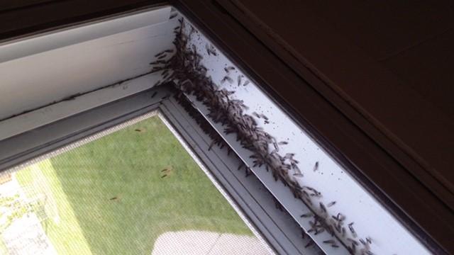 Termite Swarmers Kelowna BC Bugmaster Exterminator Pest Control
