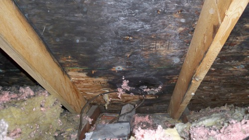 BugMaster pest control Kelowna - mold damage in attic