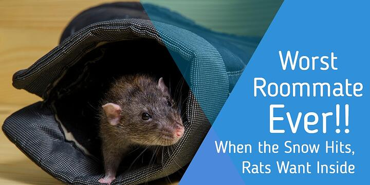 Worst Roommate EVER! When the Snow Hits, Rats Want Inside!