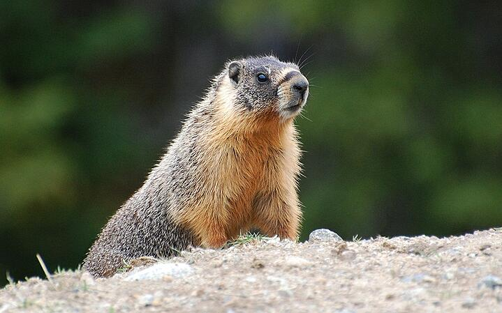 Underground Uproar - Marmots In The Okanagan