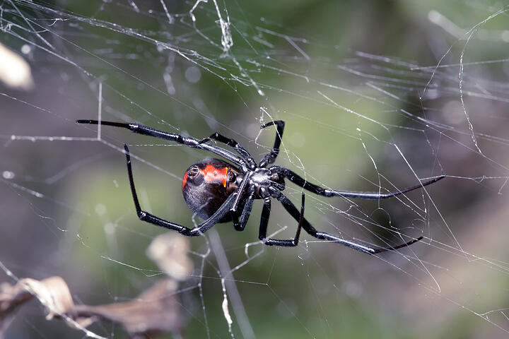Beware Black Widows In The Okanagan Valley!