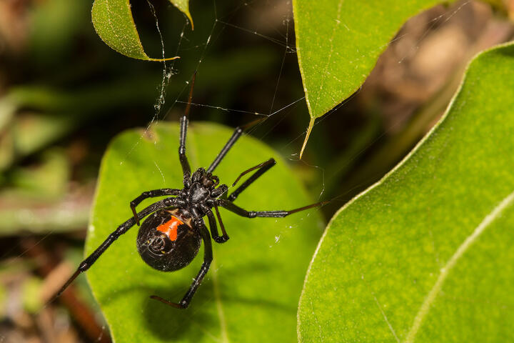 How To Teach Your Children About Black Widows To Stay Safe In the Okanagan