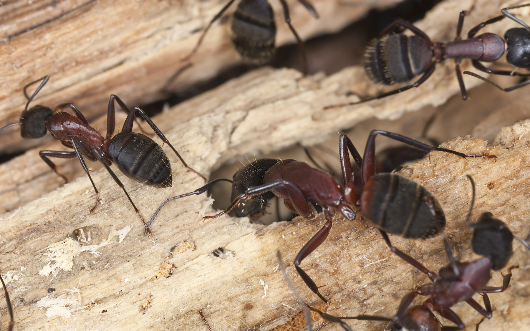 Attack of the Carpenter Ants!