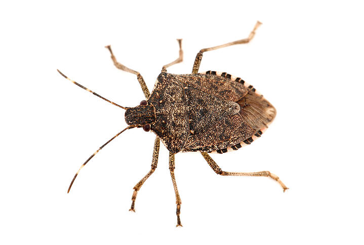 Causing a Stink - Identifying and Eliminating Stink Bugs
