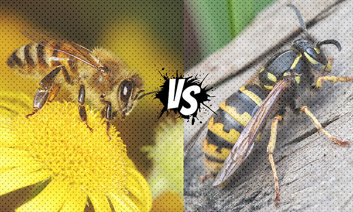 Nature's Jekyll and Hyde: The Benevolent Bee and the Wicked Wasp
