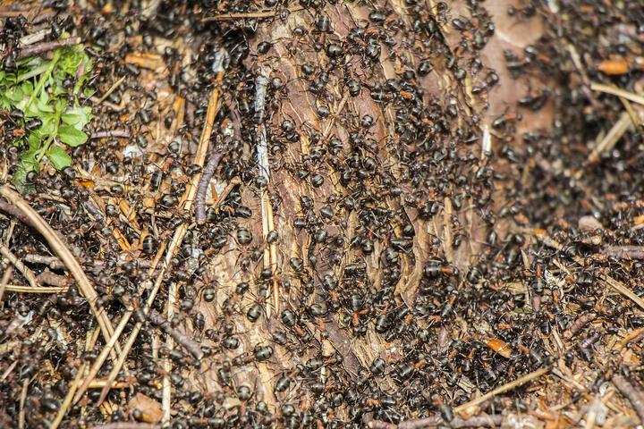 BugMaster's Prevention Measures for Odorous Ants In Preparation for Spring