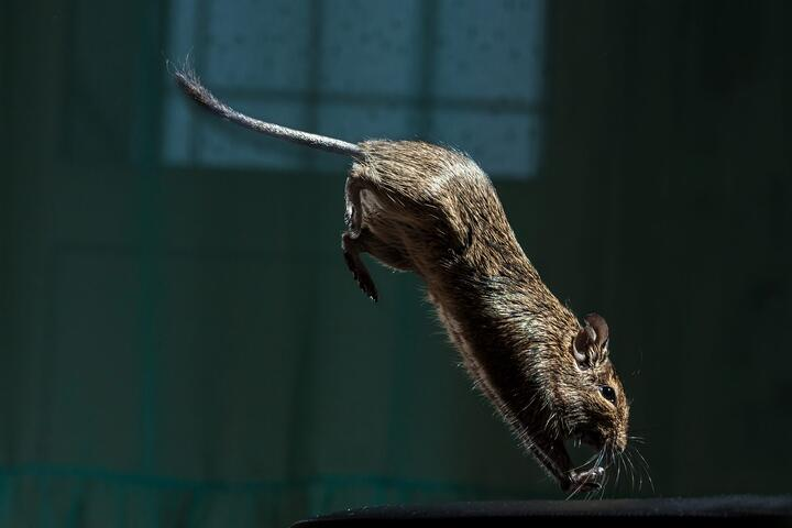 How Rodents Can Ruin Your Home