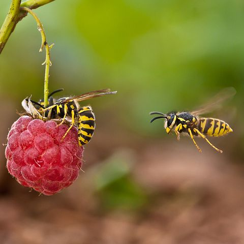 wasps-on-raspberry-royalty-free-image-976935202-1558109560