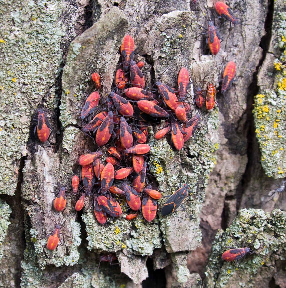 invasion-of-the-boxelder-bug