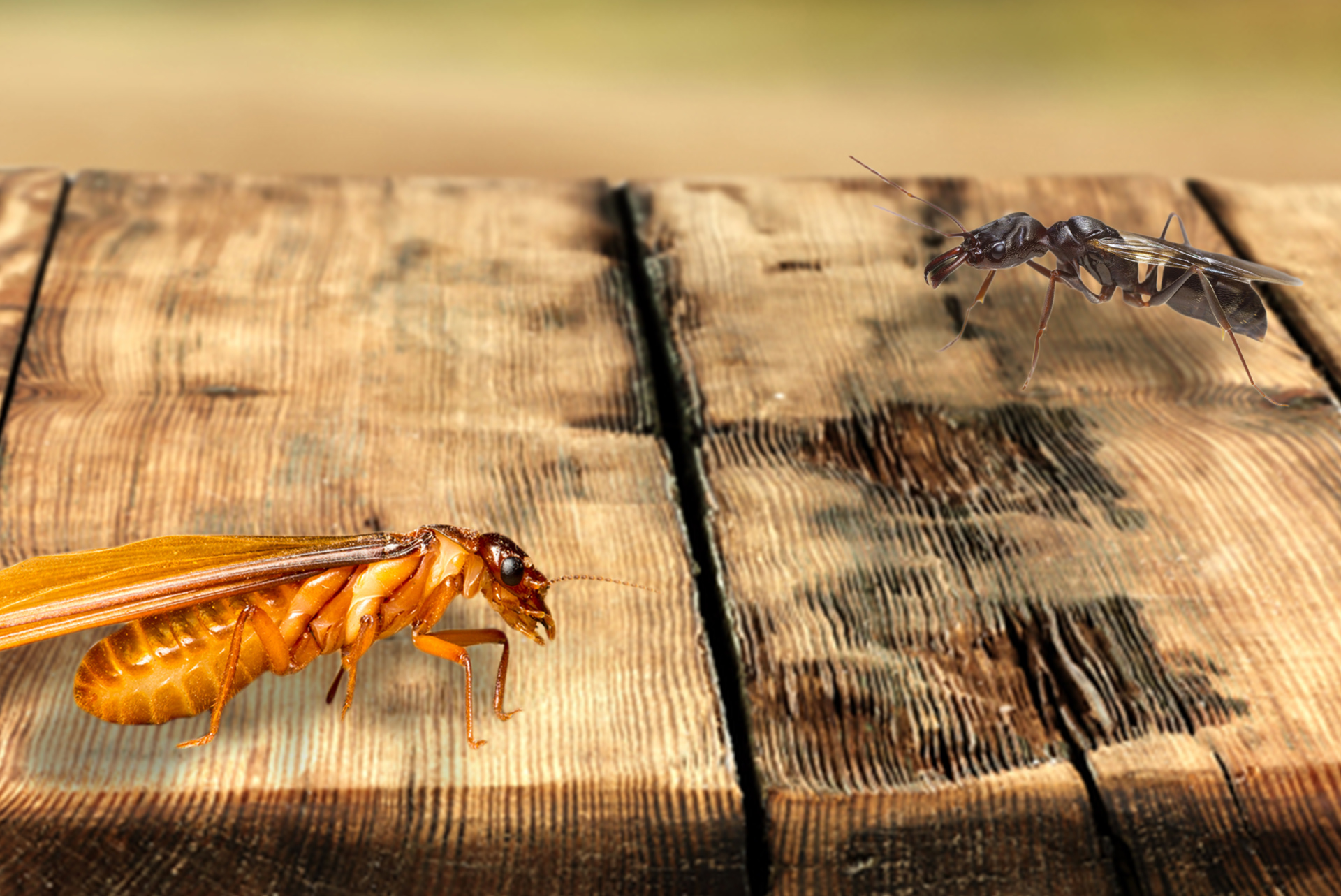 Not Your Usual Suspects Termites Vs Flying Ants