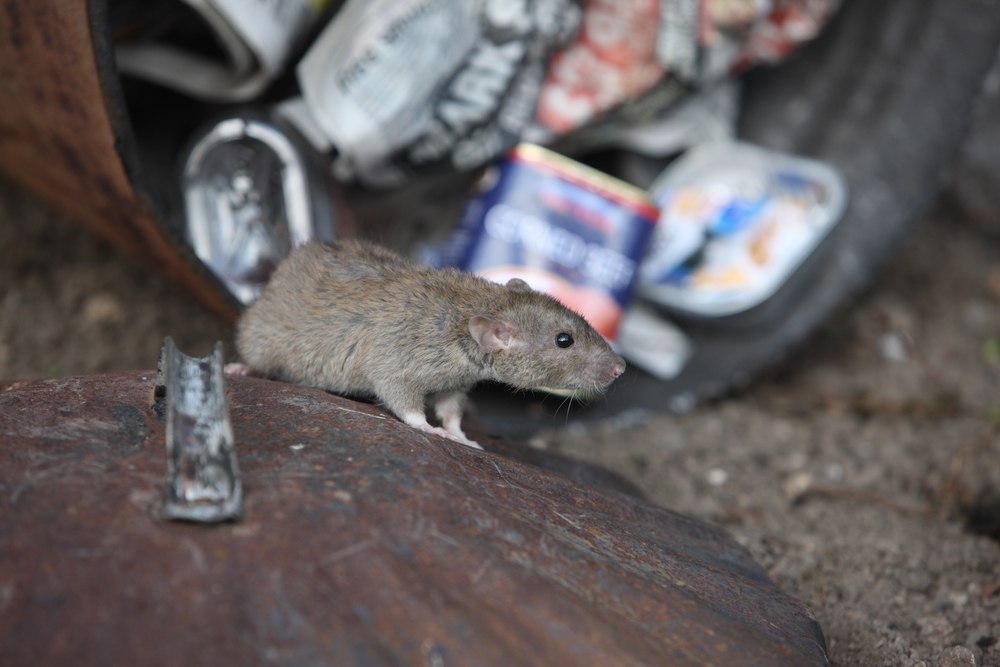 ridding-your-home-of-rodents