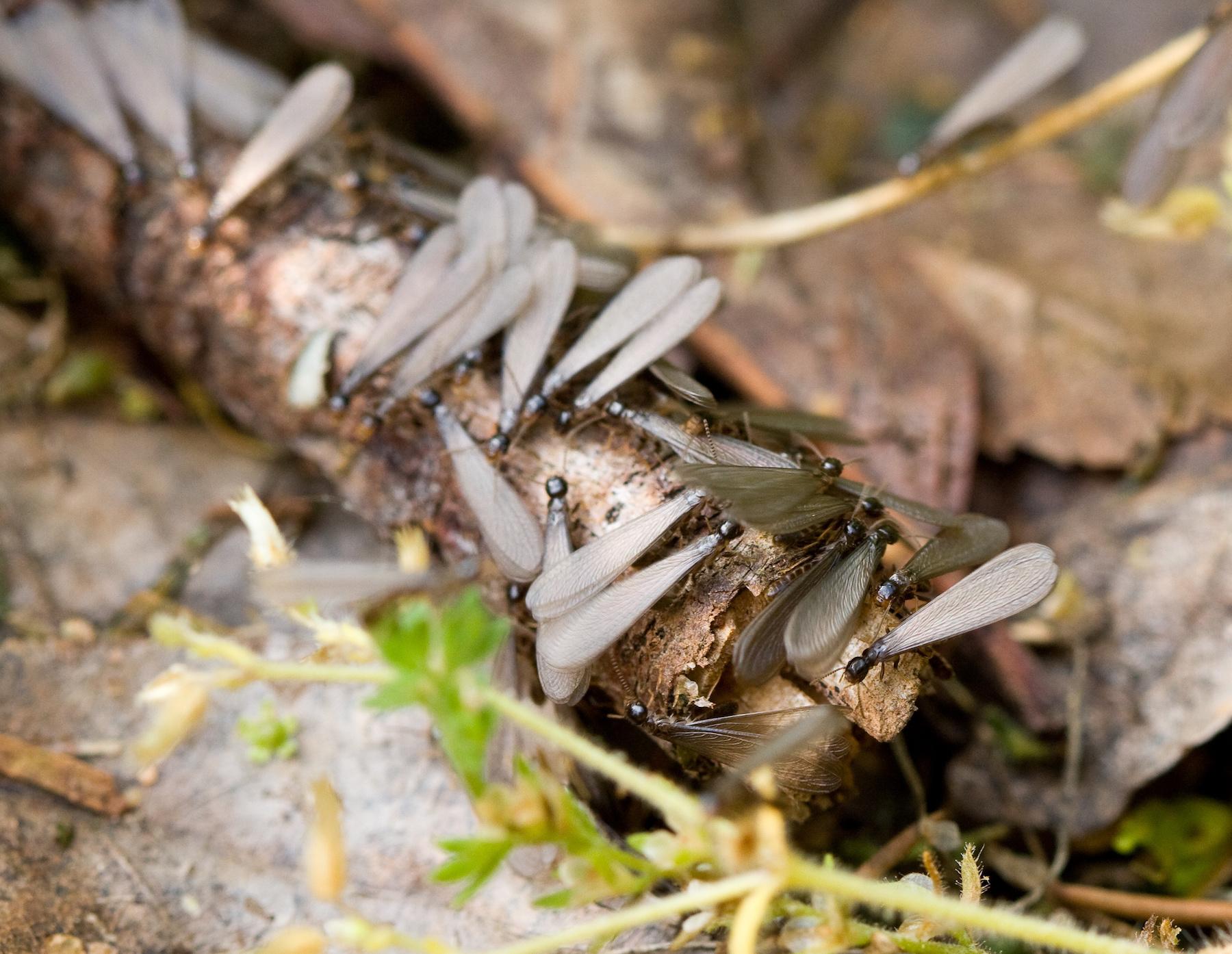 termites-okanagan
