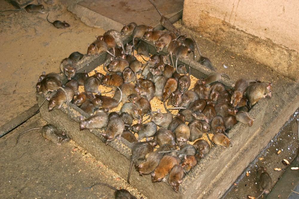 we-rats-arent-cute